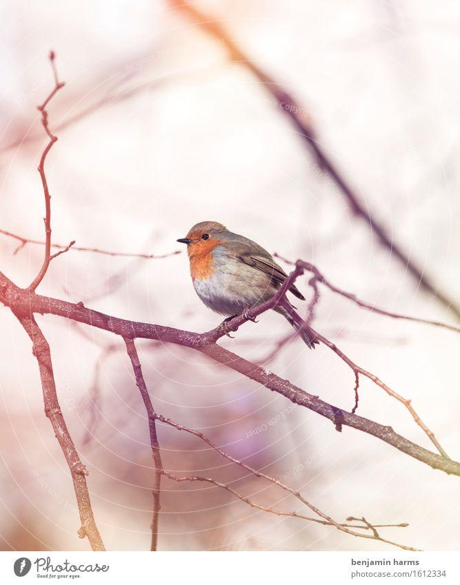 Rotkehlchen #6 Umwelt Tier Frühling Vogel 1 sitzen Wärme Natur Farbfoto Außenaufnahme Menschenleer Morgen Licht Lichterscheinung Unschärfe Tierporträt