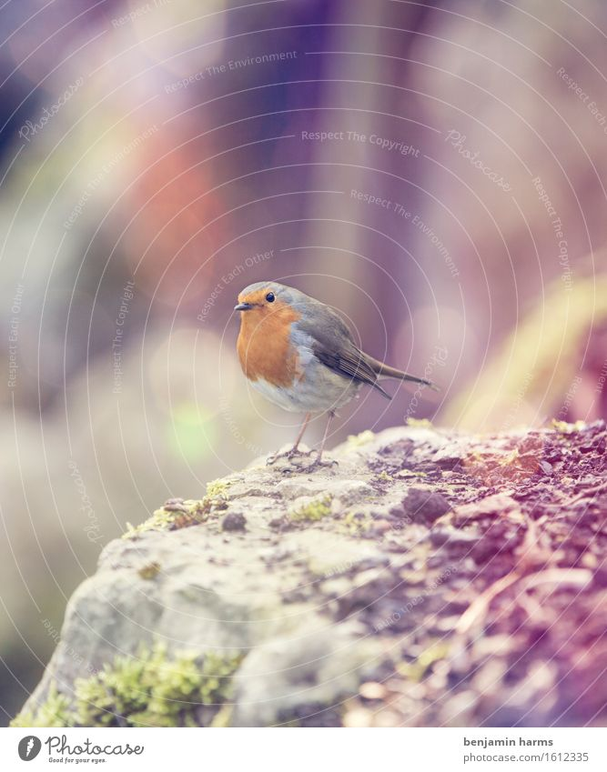 Rotkehlchen #5 Natur Tier Wärme Frühling Vogel sitzen