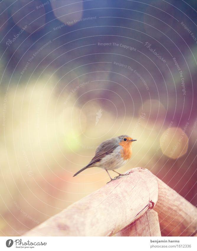 Rotkehlchen #4 Natur Tier Frühling Vogel 1 sitzen Wärme Farbfoto Außenaufnahme Menschenleer Morgen Lichterscheinung Unschärfe Tierporträt