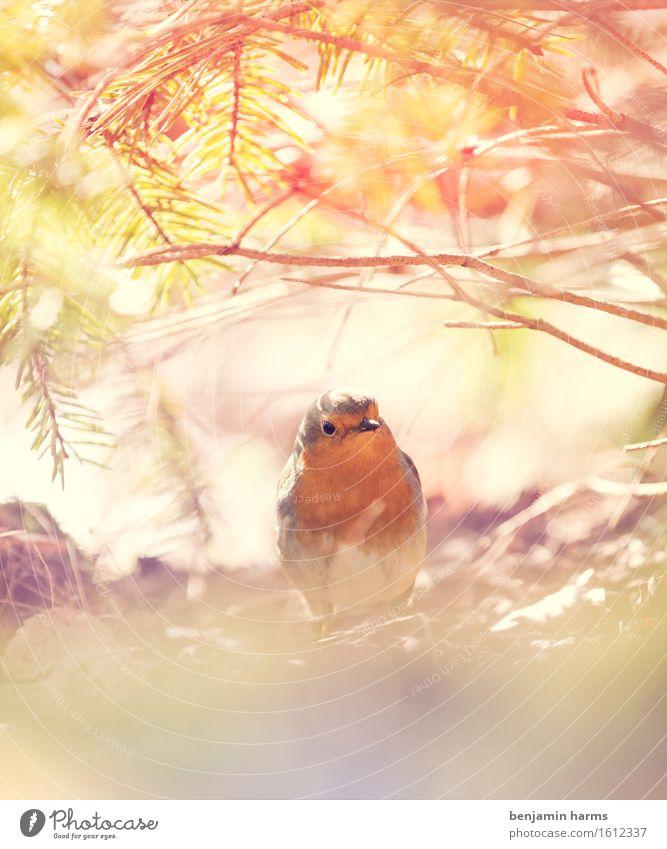 Rotkehlchen #3 Umwelt Natur Tier Frühling Schönes Wetter Vogel 1 sitzen Wärme Farbfoto Außenaufnahme Menschenleer Morgen Lichterscheinung Unschärfe Tierporträt