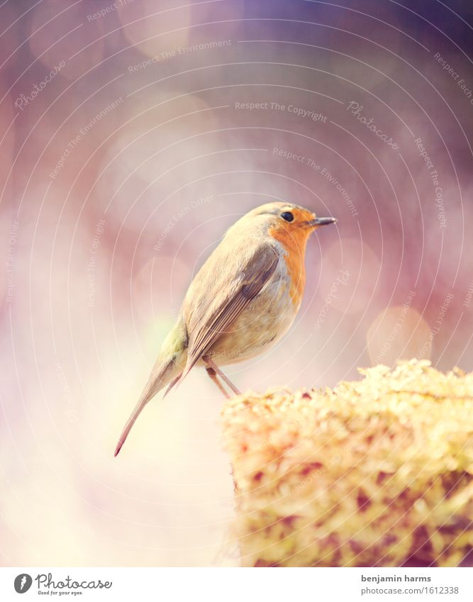 Rotkehlchen #2 Natur Tier Sommer Schönes Wetter Vogel 1 sitzen Wärme Farbfoto Außenaufnahme Menschenleer Morgen Lichterscheinung Schwache Tiefenschärfe