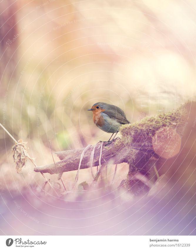 Rotkehlchen #1 Natur Frühling Tier sitzen Wärme Vogel Schwarzweißfoto Außenaufnahme Menschenleer Morgen Lichterscheinung Schwache Tiefenschärfe Tierporträt