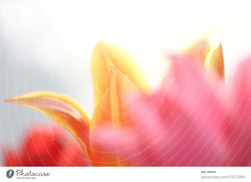 Spring Stil Wellness harmonisch Sinnesorgane Ferien & Urlaub & Reisen Sommer Garten Valentinstag Muttertag Ostern Umwelt Natur Pflanze Frühling Blume Tulpe