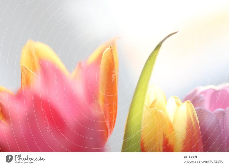 Im Licht Lifestyle Wellness Leben harmonisch Sinnesorgane Garten Muttertag Ostern Umwelt Natur Pflanze Frühling Sommer Tulpe Blüte Blütenblatt Blumenstrauß