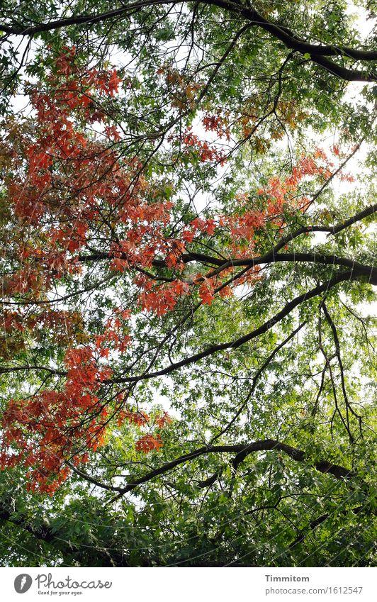Grünrotschwarz. Pflanze grün Baum rot Blatt schwarz Umwelt natürlich Park Zufriedenheit ästhetisch Gelassenheit