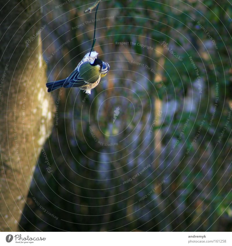 Abendessen Farbfoto Außenaufnahme Schwache Tiefenschärfe Rückansicht Ernährung Garten Natur Tier Sonnenlicht Frühling Vogel Meisen 1 fliegen Fressen füttern