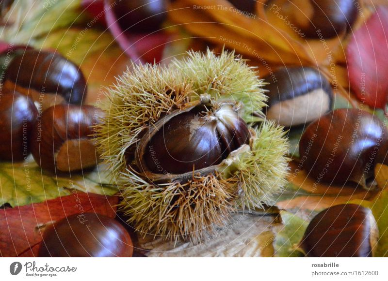 stacheliger Pelzmantel - Esskastanie in Schale zwischen buntem Herbstlaub Lebensmittel Frucht Dessert Ernährung Maronen Erntedankfest Natur Pflanze Baum Blatt
