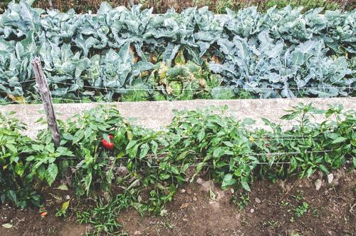 800 | geringe Ausbeute grün rot natürlich Gesundheit Wachstum frisch ästhetisch Streifen Landwirtschaft Gemüse Bioprodukte Ernte Reihe