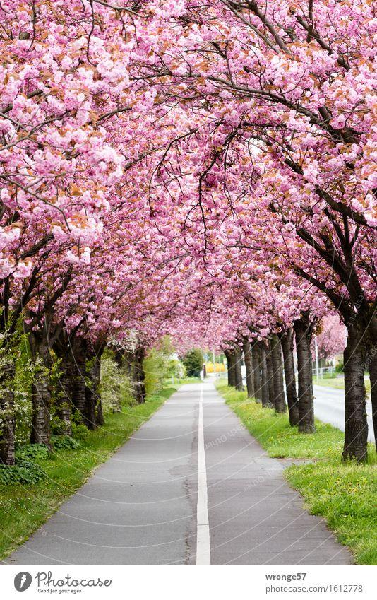 Rosa Traum Pflanze schön grün Baum Frühling Blüte grau braun rosa Fußweg Allee Frühlingsgefühle Fahrradweg Magdeburg Zierkirsche Frühlingsfarbe