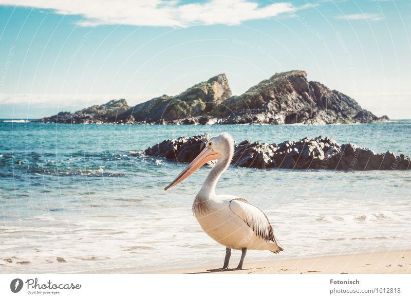 Pelikan Umwelt Natur Landschaft Wasser Wolkenloser Himmel Meer Tier Vogel 1 Ferien & Urlaub & Reisen Tourismus Farbfoto Außenaufnahme Menschenleer Gegenlicht