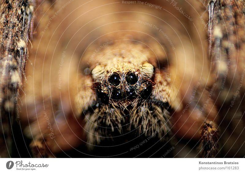 klein Wolfi schwarz Auge Tier dunkel braun Angst groß nah bedrohlich Netz gruselig Ekel Panik Spinne Wolfsspinne