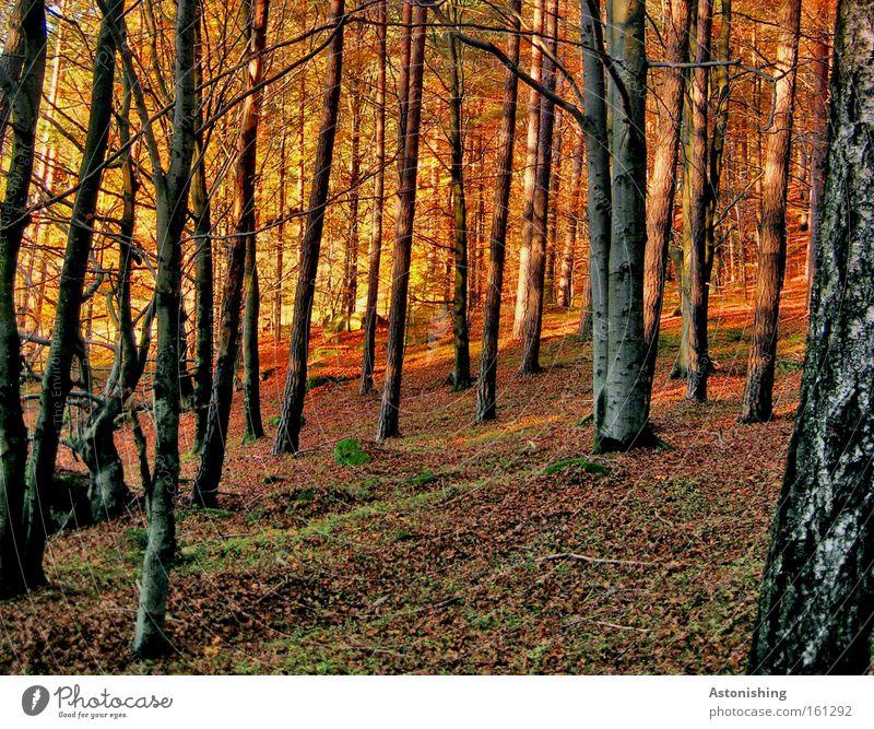"""mein """"Stamm-Wald"""" Natur Baum rot Blatt Herbst Landschaft Boden Bodenbelag leuchten Baumstamm Moos Licht Baumrinde Herbstlaub Zweige u. Äste"""