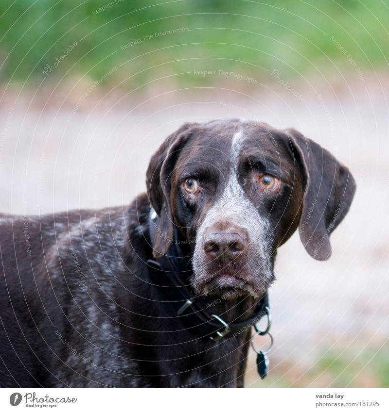 Unzufrieden mit der Gesamtsituation Hund Tier Halsband Jagdhund frontal hören Blick Spaziergang Schutz Säugetier deutsch kurzhaar gassi Hundehalsband