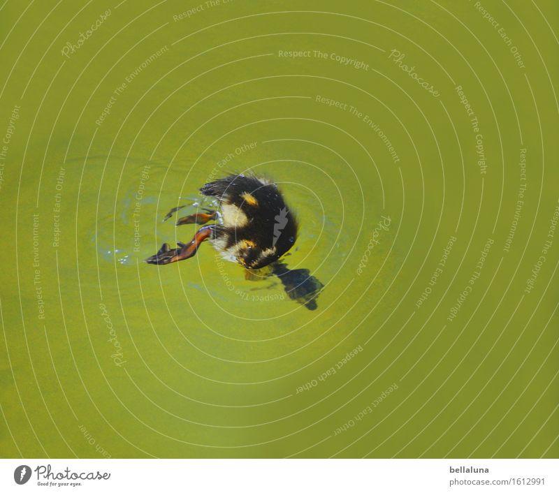 ... Schwänzchen in die Höh ... Natur Sommer grün Wasser Tier schwarz Tierjunges gelb natürlich klein Schwimmen & Baden See braun Vogel frei Wildtier