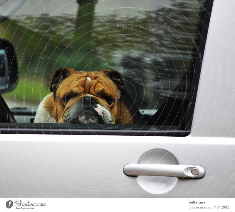 Botox Tier Haustier Hund Tiergesicht Fell 1 beobachten entdecken Erholung fahren Blick sitzen träumen Traurigkeit warten Hautfalten PKW Autotür Fenster