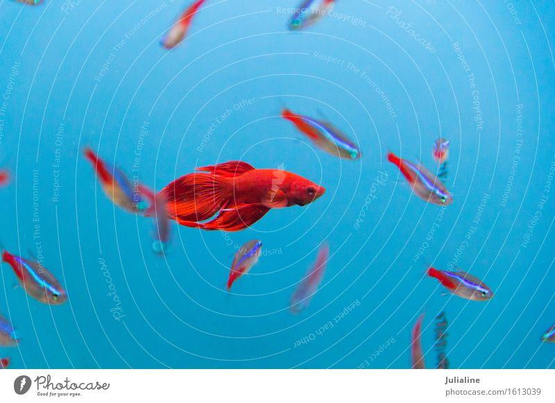 Foto von Hahnfisch Meer Aquarium türkis Fisch Papagei Wasser Salz Skalar Apogon Rotfeuerfisch Goldfisch Farbfoto