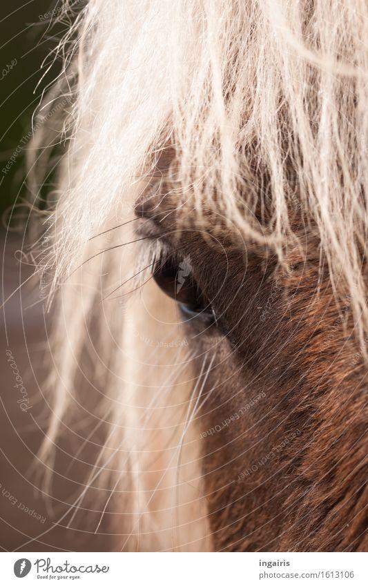 Windfarben Natur Tier Nutztier Pferd Tiergesicht Fell Island Ponys Pferdeauge windfarben Pferdekopf 1 beobachten Blick natürlich braun weiß Stimmung