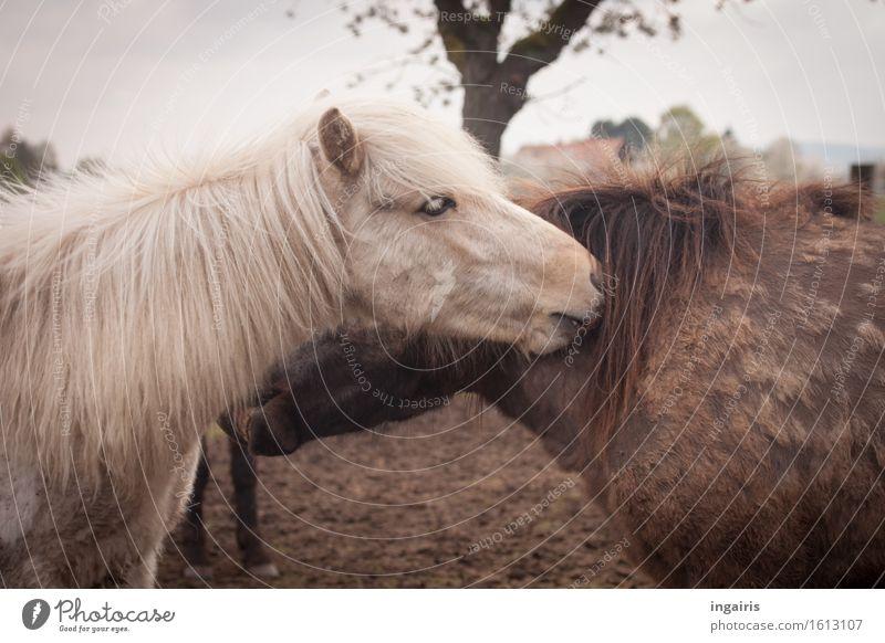Pfleglich Natur Landschaft Himmel Baum Tier Nutztier Pferd Tiergesicht Fell Island Ponys 2 Tierpaar berühren genießen Reinigen Zusammensein schön Zufriedenheit
