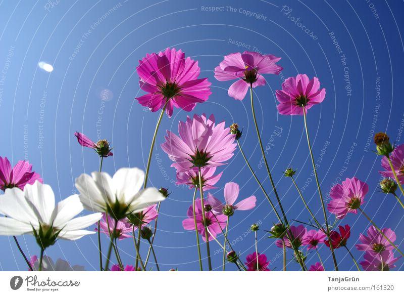 blühender Dezember Blume Blühend rosa weiß Himmel blau hell-blau Blumenwiese Sommer Thailand Frühling Schönes Wetter Ferien & Urlaub & Reisen Natur Wiese Asien