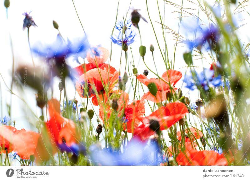 Rot mit Blau drumherum Sommer Wiese Mohn Klatschmohn Sonne Kornblume Himmel rot blau Blüte Perspektive