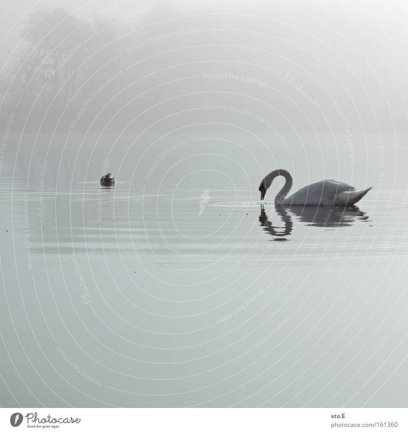 Das hässliche Entlein Natur weiß Tier See Stimmung Vogel Nebel Feder Seeufer Ente Märchen Schwan Gewässer beeindruckend Entenvögel