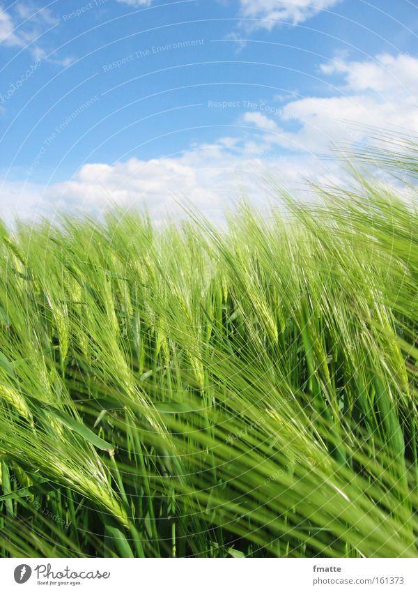 Wolken und Getreide Himmel Feld Landwirtschaft Ackerbau Aussaat Gerste Ernte