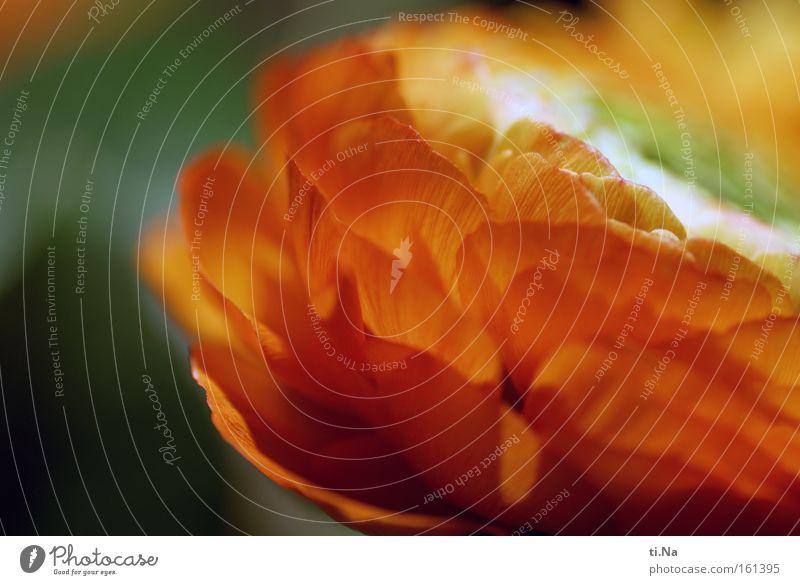 Geburtstagsranunkel Pflanze Farbe Blume Blüte Gefühle Frühling Glück Stimmung orange träumen ästhetisch Blühend Warmherzigkeit Romantik Blumenstrauß Duft