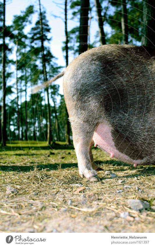Rasante Rute Natur Tier Wald Landwirtschaft Bauernhof Übergewicht dick Säugetier Schwanz Schwein Hausschwein Borsten Sau Schnitzel Huf Ferkel