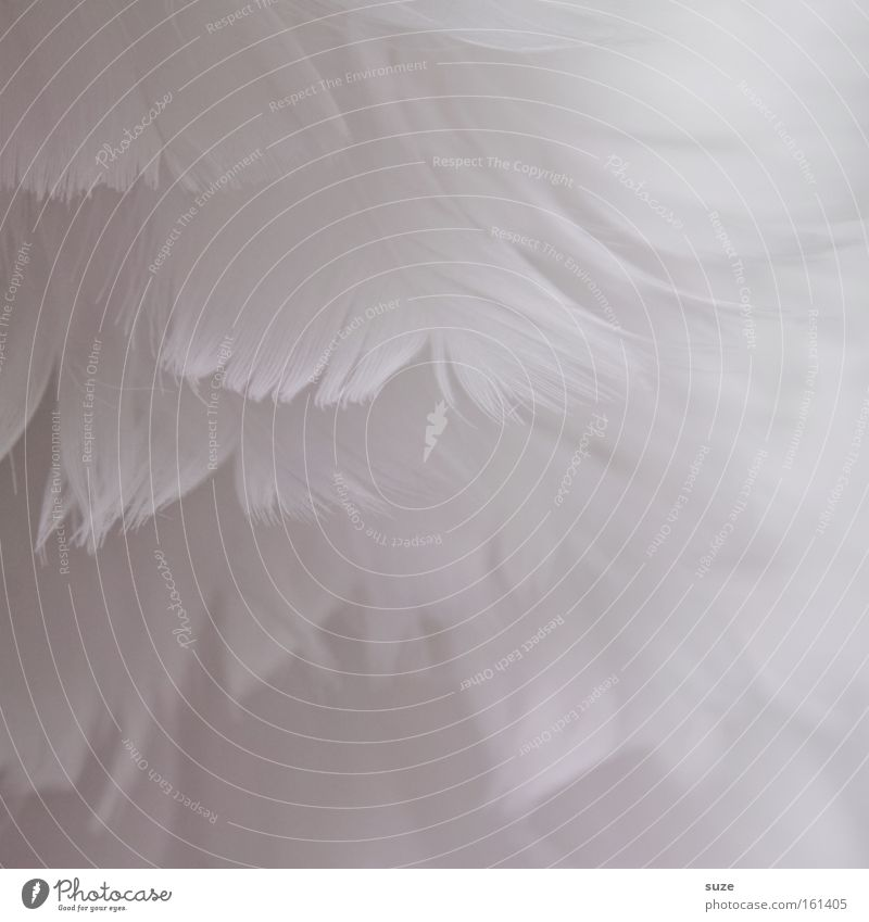 Kuschelweich weiß Dekoration & Verzierung Feder zart himmlisch Material sanft leicht Weihnachtsdekoration unschuldig Flaum Daunen abstrakt