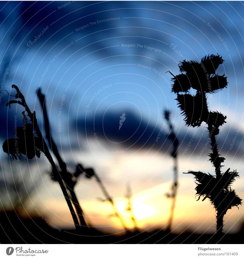 Klettenalarm Große Klette Sonnenuntergang Nacht Wolken Himmel Pflanze dunkel Heilpflanzen Unkraut