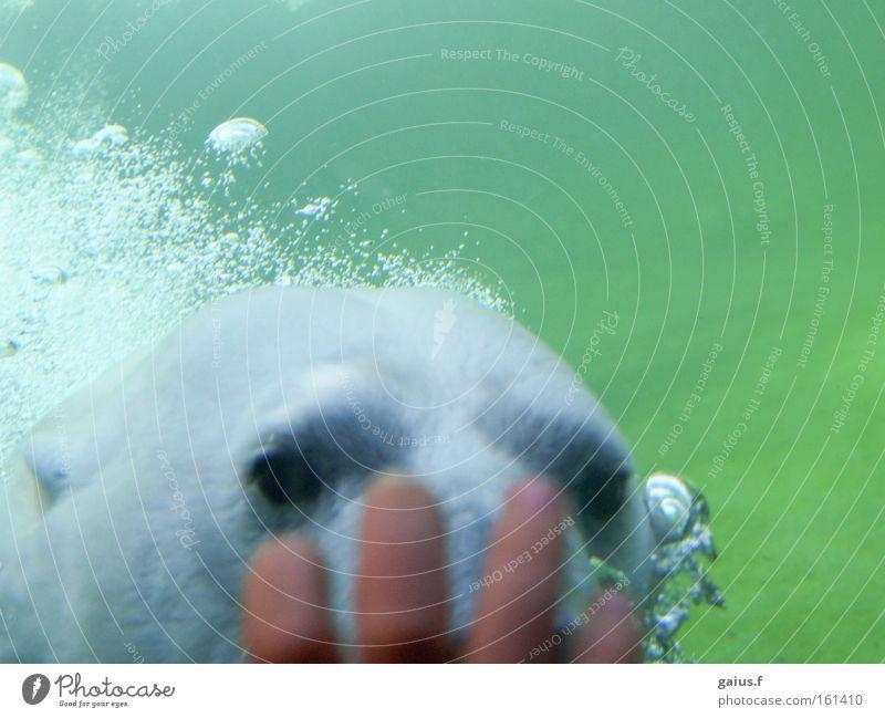 Guck mal, wer da guckt! Wasser Freude Bär Zoo Neugier Säugetier Interesse Eisbär