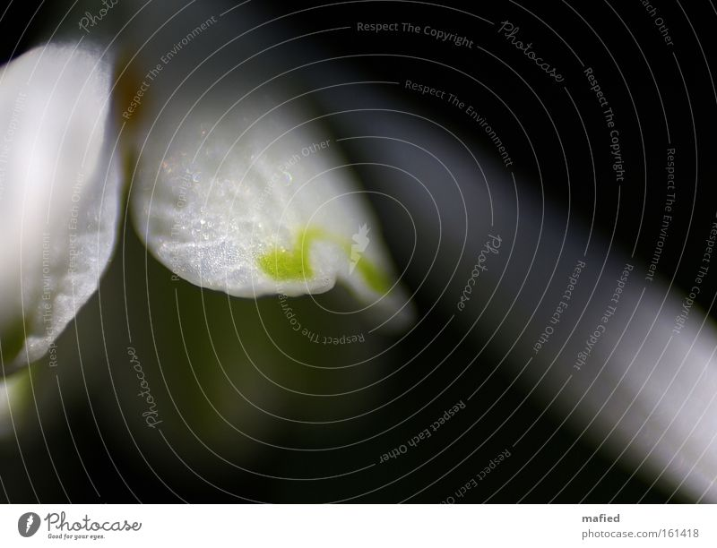 Aus der Dunkelheit ans Licht weiß grün dunkel Blüte Frühling Schneeglöckchen