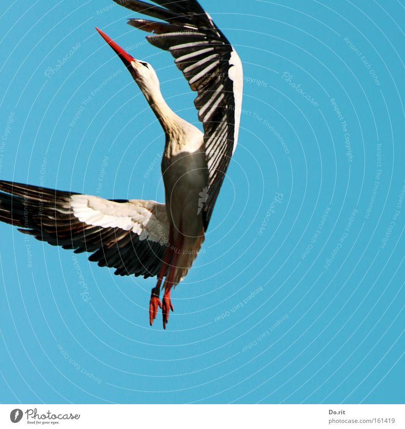 Geburtstagswalzer Freude ruhig Ferne Vogel Tanzen fliegen groß frei Ausflug Luftverkehr Feder Frieden nah Schnabel Blauer Himmel