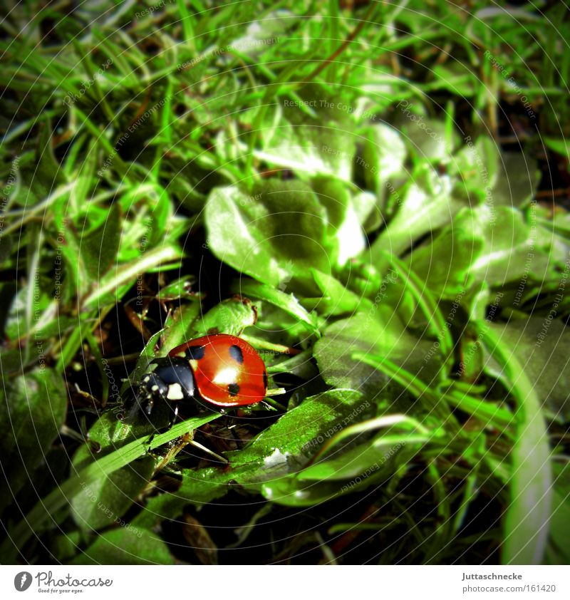 Alles Glück dieser Welt Natur Wiese Frühling Frieden Insekt Marienkäfer Käfer krabbeln Glücksbringer Siebenpunkt-Marienkäfer