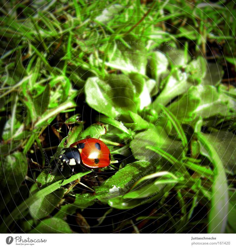 Alles Glück dieser Welt Natur Wiese Frühling Glück Frieden Insekt Marienkäfer Käfer krabbeln Glücksbringer Siebenpunkt-Marienkäfer