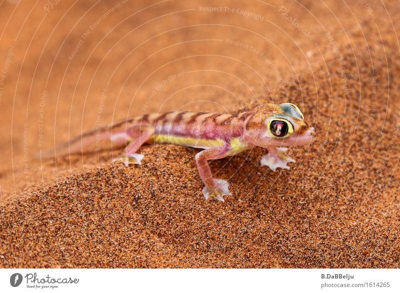 Gecko Abenteuer Safari Expedition Sand Wärme Dürre Tier Wildtier 1 exotisch Wüste Namib Namibia Namibgecko Pachydactylus rangei Afrika Farbfoto Außenaufnahme