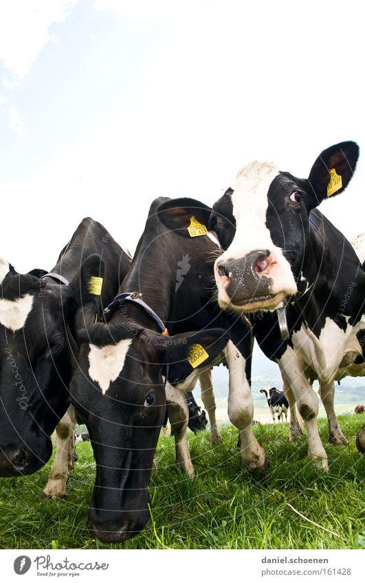 mehr Geld weiß schwarz Ernährung Gras Rind Landwirtschaft Kuh Vieh Grundbesitz Säugetier Milcherzeugnisse