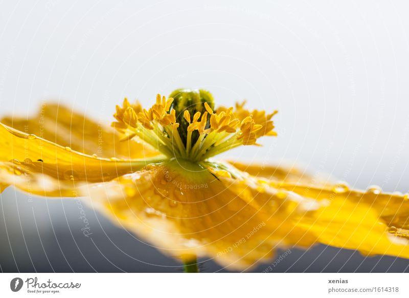 Makroaufnahme einer gelben Blüte Islandmohn vor hellem Hintergrund Staubfäden Wasser Wassertropfen Frühling Sommer Regen Blume grau grün Nahaufnahme