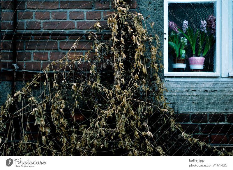 dornrößchenschlaf alt Pflanze Winter Blume Fenster Wand verfallen Backstein Jahreszeiten vertrocknet getrocknet Knollengewächse Hyazinthe