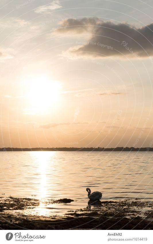 Schwan im Sonnenuntergang Umwelt Natur Wasser Himmel Wolken Sonnenaufgang Sonnenlicht Sommer Schönes Wetter Strand Ostsee Tier Wildtier 1 ästhetisch glänzend