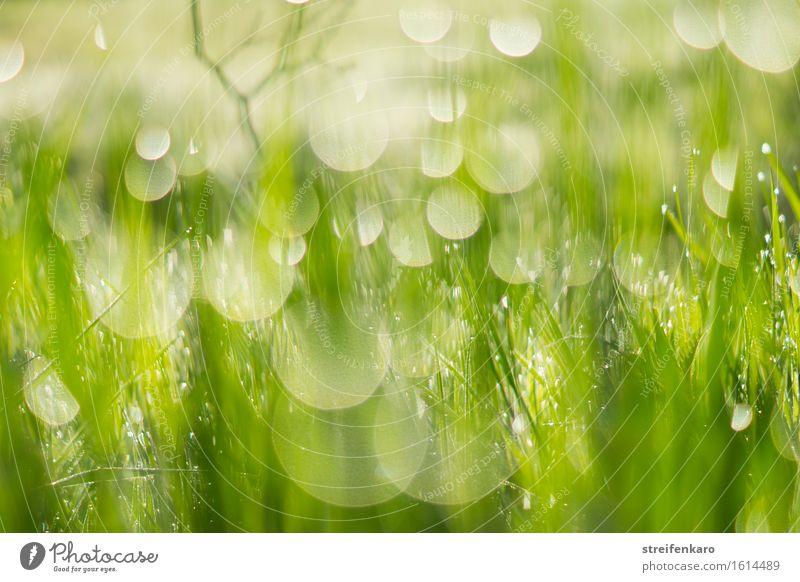 Sonnentropfen - in Unschärfe getauchte Grashalme und Tautropfen i harmonisch Umwelt Natur Pflanze Wasser Wassertropfen Frühling Sommer Blatt Wiese entdecken