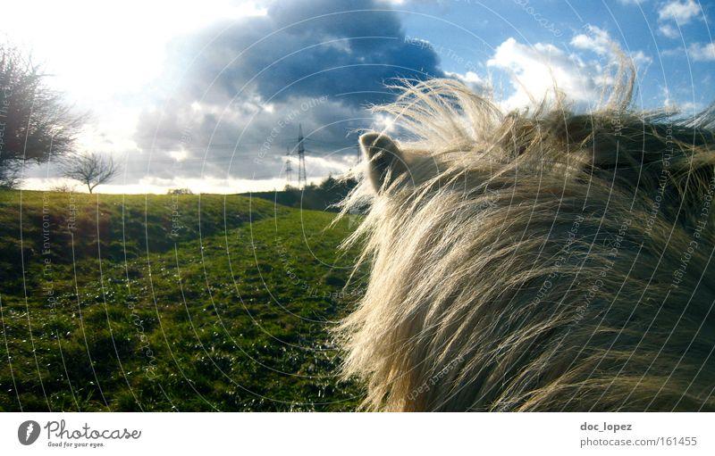 Auf dem Rücken Freiheit Pferd Landschaft Ferne Wolken Isländer Wiese Säugetier Zufriedenheit dramatisch grüne Auen zerklüfteter Himmel Schimmelreiter