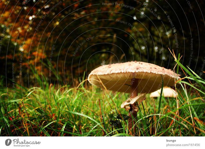 homunculus in silva stat... Natur Herbst Gras Wald Wachstum nass Einsamkeit Pilz Parasolpilz Waldboden feucht Waldlichtung Märchen fantastisch