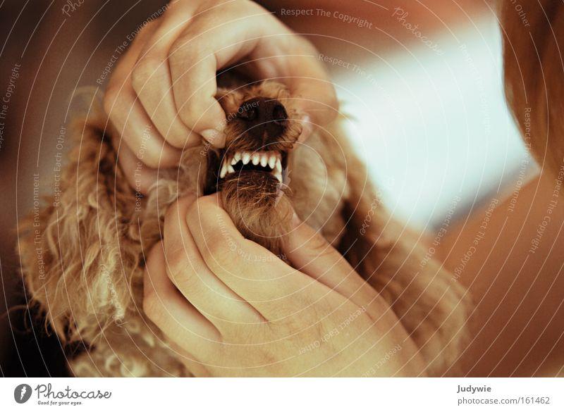 Zeig deine Zähne! Hund weiß Gesundheit gefährlich bedrohlich Spitze Arzt Gebiss Wut Säugetier Ärger Zahnarzt beißen Pudel Karies Zahncreme