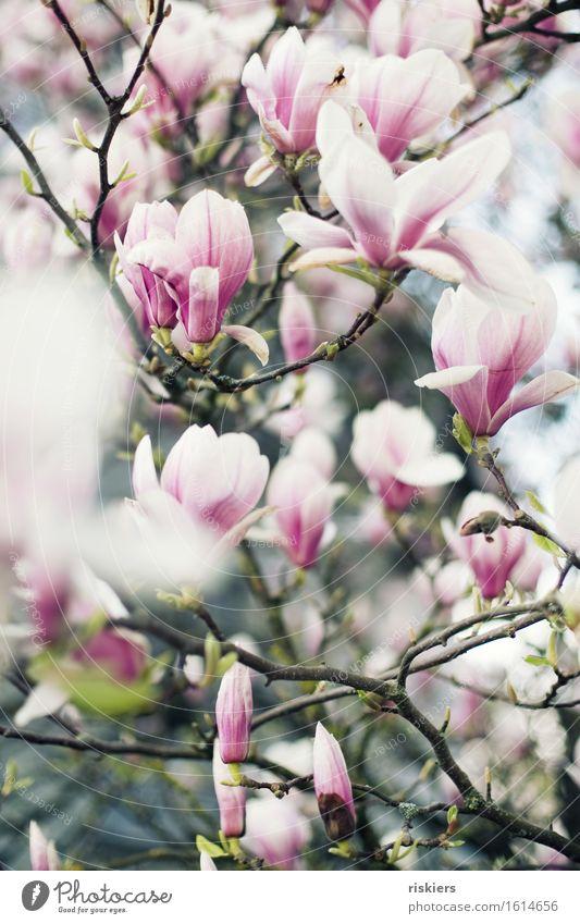 Magnolia Umwelt Natur Pflanze Frühling Magnoliengewächse Garten Blühend ästhetisch schön rosa weiß Farbfoto Außenaufnahme Menschenleer Schwache Tiefenschärfe