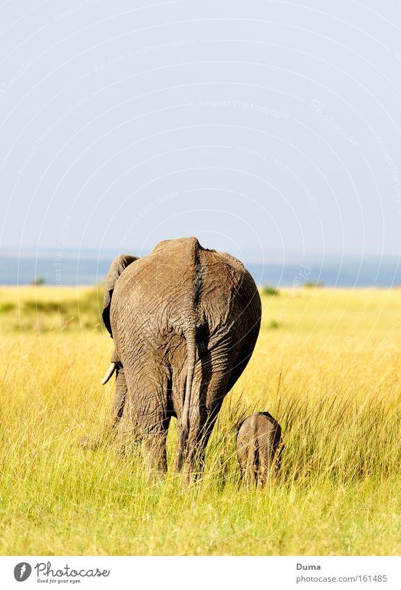 Geborgenheit Natur Ferien & Urlaub & Reisen Tier Gras Landschaft Afrika Schutz Vertrauen Säugetier Geborgenheit harmonisch Elefant Safari Wildnis Kenia Elefantenbaby