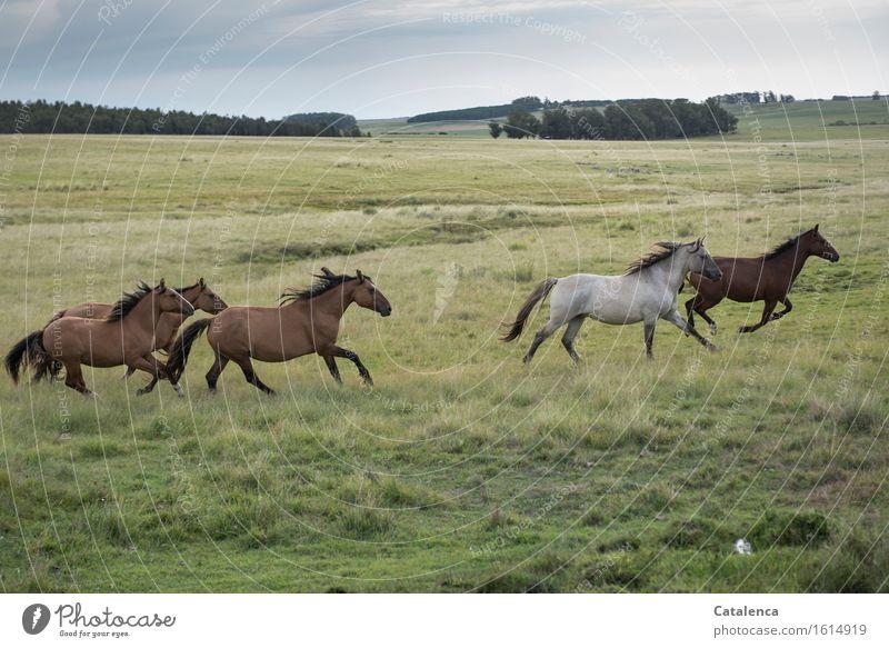 Galoppierende Pferde II Natur Pflanze grün Landschaft Tier schwarz Gefühle Wiese Bewegung Gras grau braun wild Feld Angst Kraft