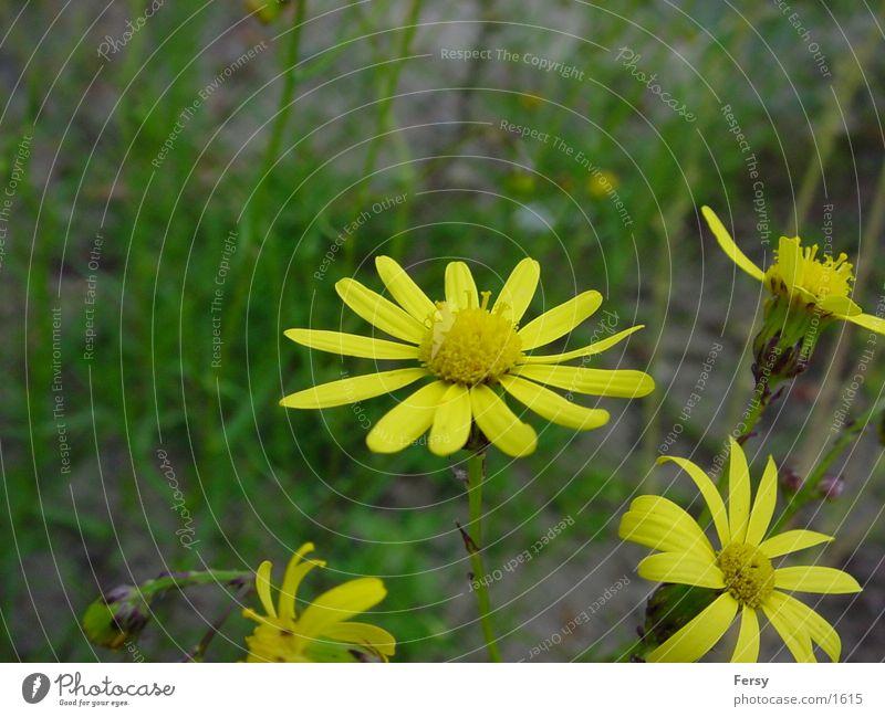 primelmaster Blume Natur