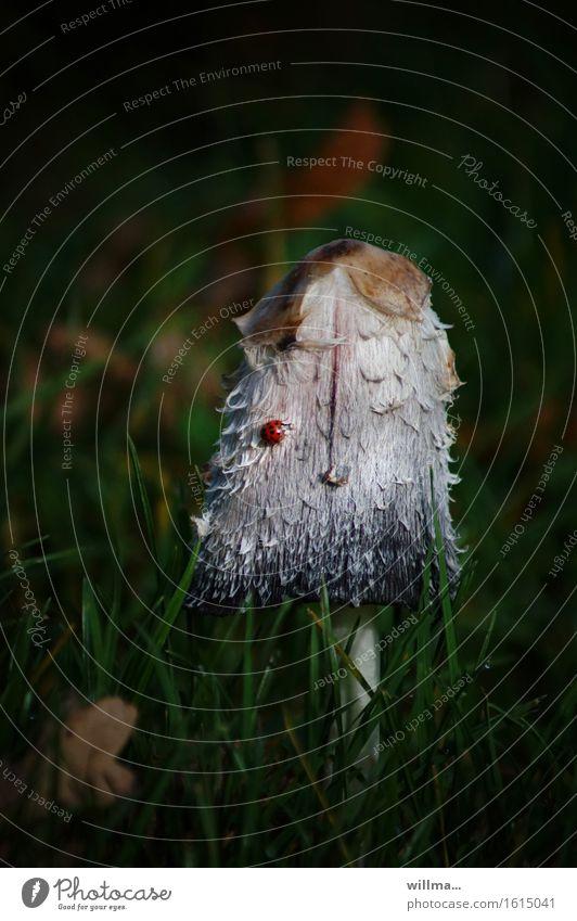 nich alles, was rund ist und punkte hat... Herbst Gras Schopftintling Pilz Pilzhut essbar Tintlinge Spargelpilz Tintenpilz Tintenschopfling champignonverwandt