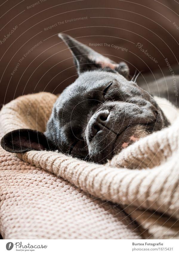 Sleeping Frenchie Tier Haustier Hund 1 schlafen Glück niedlich 2016 Barney März French Bulldog Französische Bulldogge Burtea Fotografie Farbfoto Innenaufnahme